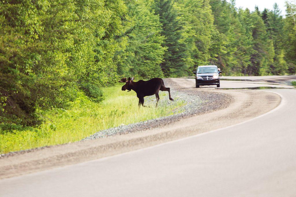 Canada-NB-Kouchibouguac-Moose-1b